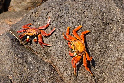 Sally Lightfoot crabs, Galapagos Islands, Ecuador.