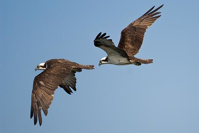 Osprey, Puddingstone Reservoir, San Dimas, CA.