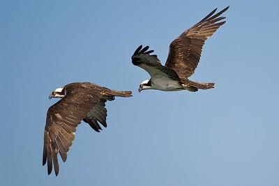 Osprey, Puddingstone Reservoir, San Dimas, CA.