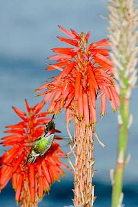 Hummingbird in Laguna Beach, CA.