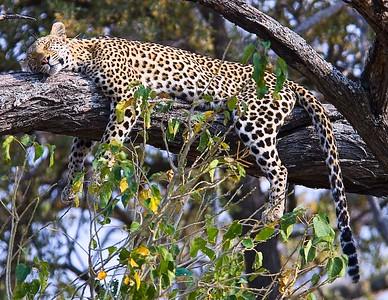 Sleeping Leopard, Okavango Delta, Botswana, Africa.