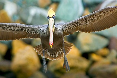 Pelican landing near San Diego, CA.