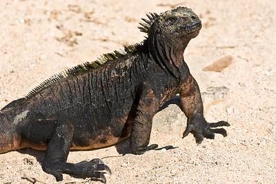 Marine Iguana, Galapagos Islands, Ecuador.