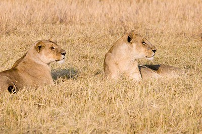 These lionesses are interested in a couple of warthogs that are about a hundred yards away.  Okavango Delta, Botswana, Africa.