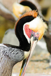 Pelican near San Diego, CA.