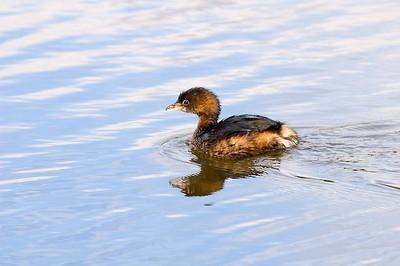 Little water bird on UCSB campus, Goleta, CA.