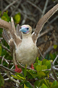 Red-footed Booby, Galapagos Islands, Ecuador.  There are 29 species of birds in the Galapagos Islands, and 22 of them are endemic, or found only in the Galapagos.
