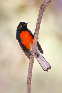 Painted Redstart, Puddingstone Reservoir, San Dimas, CA.