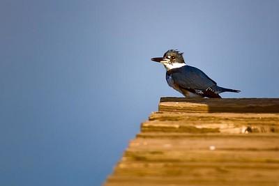 Kingfisher, Puddingstone Reservoir, San Dimas, CA.