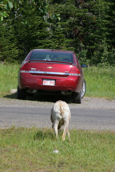 An impala, in the Canadian Rockies...who knew?