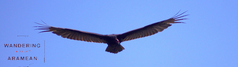 One of the many hawks circling out in the open