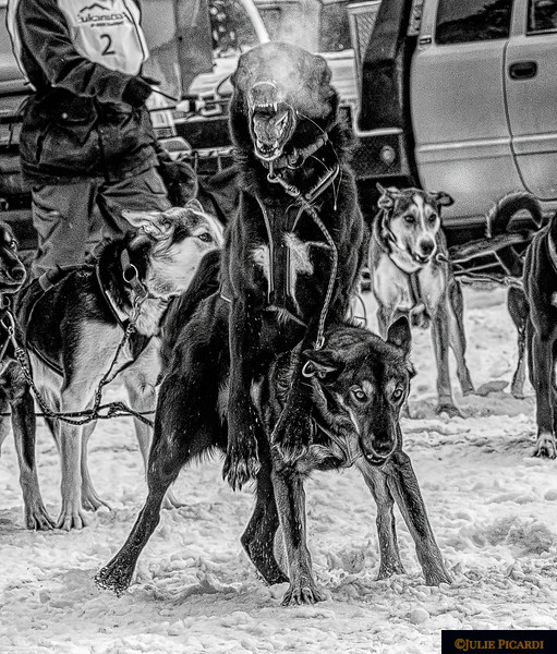 This lead dog is beside himself with enthusiasm. It is not uncommon for the dogs to jump over one another while in harness. Sometimes they manage to untangle themselves - sometimes the handler has to intervene.