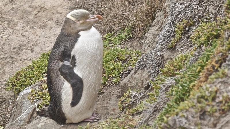 Little blue penguin (Eudyptula minor)