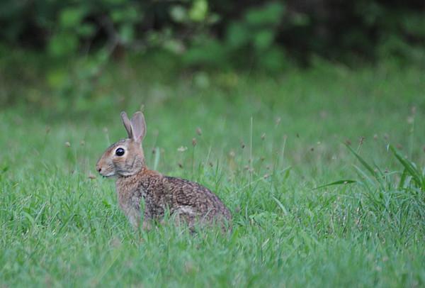 Bunny at Evansburg State Park, PA.