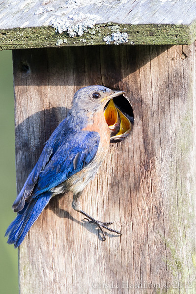 Adult bluebird with begging chicks.