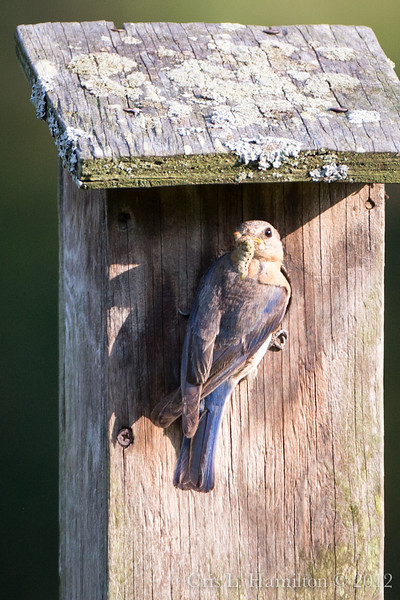Adult bluebird with dinner.