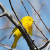 Yellow Warbler-5993