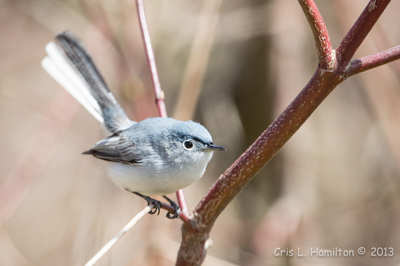 Blue-Gray Gnatcatcher-6110