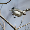 Blue-Gray Gnatcatcher flight-0731