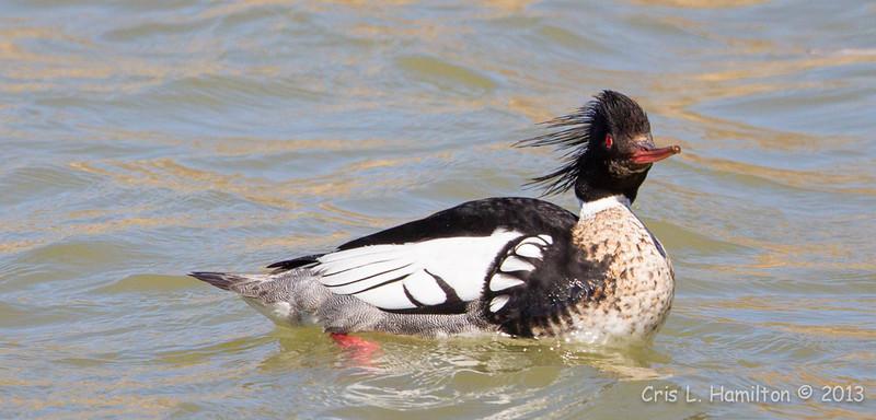 Merganser Red-breasted Male-0650