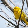 Yellow Warbler-6037