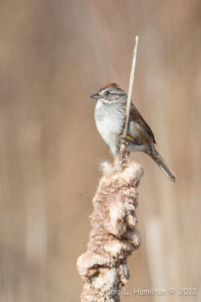 Swamp Sparrow-6299