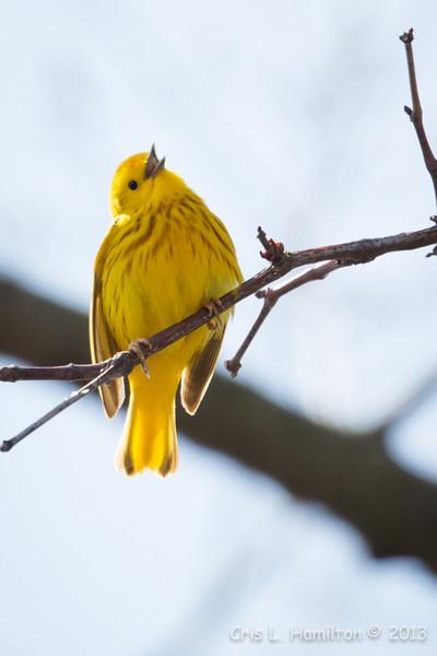 Yellow Warbler-6080
