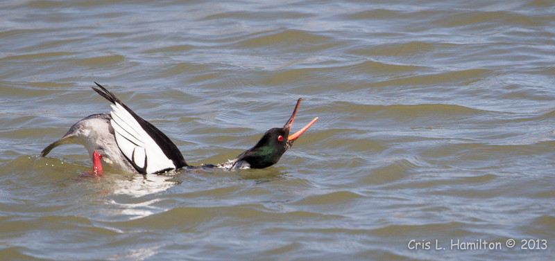 Merganser Red-breasted Male courting-0559