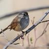 Swamp Sparrow-6294