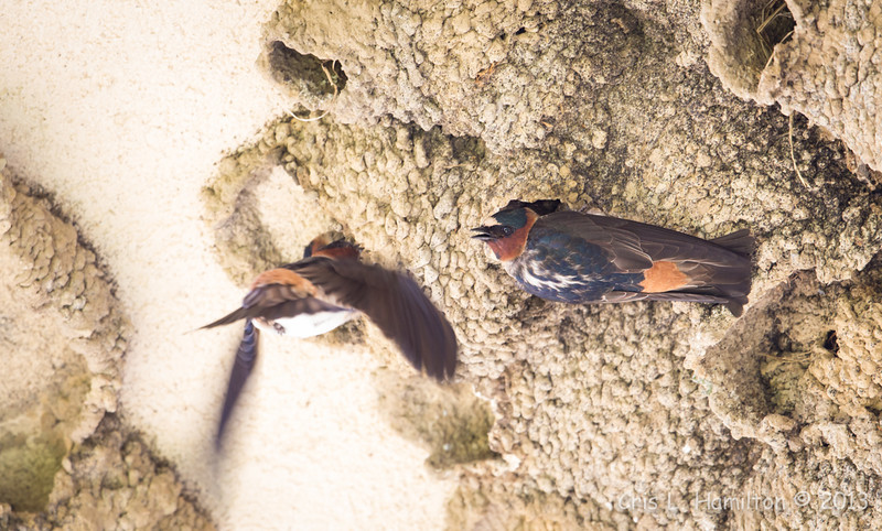 Cliff Swallow 5826