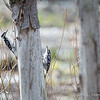 Hairy woodpeckers Male-6316