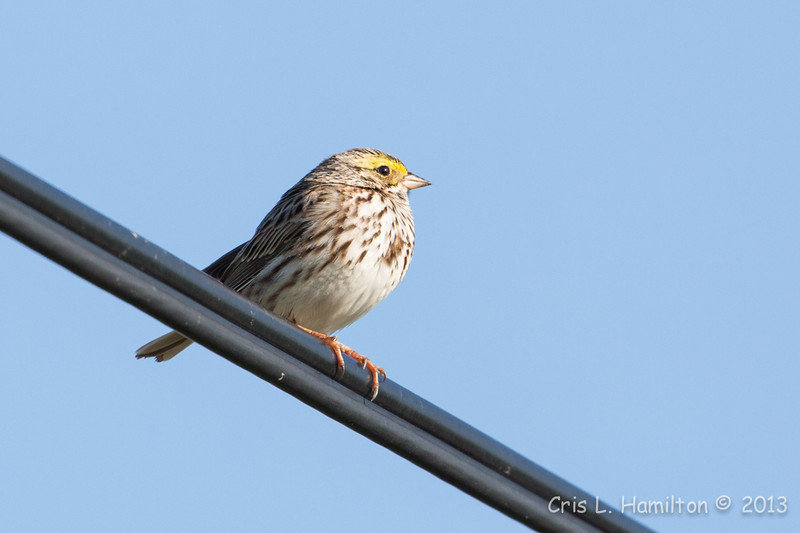 Savannah Sparrow-5588