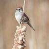 Swamp Sparrow-6297