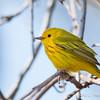 Yellow Warbler-6058