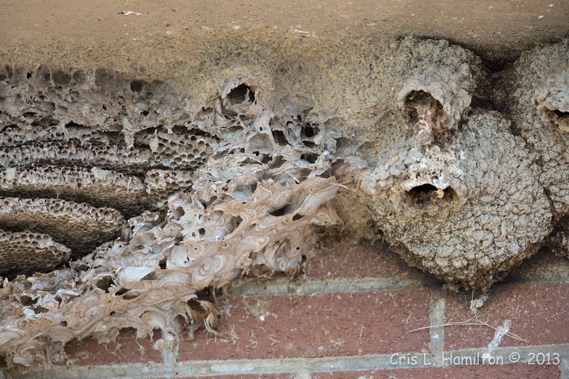 Nests-Cliff Swallow & Bee?-5919
