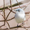 Blue-Gray Gnatcatcher-6086