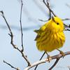 Yellow Warbler-6027