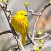Yellow Warbler-6051