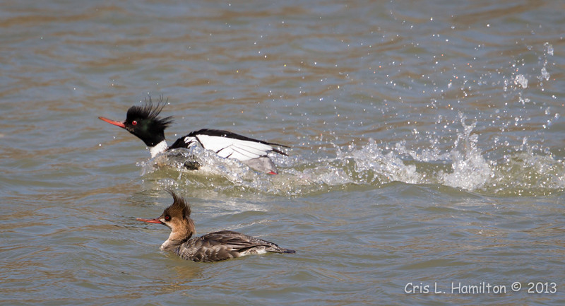 Merganser Red-breasted pair-Male courting-0631