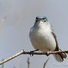Blue-Gray Gnatcatcher-0728