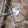 Blue-Gray Gnatcatcher-6123