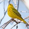 Yellow Warbler-6060