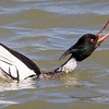 Merganser Red-breasted Male Courting-0560