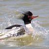 Merganser Red-breasted Male-0526