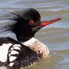 Merganser Red-breasted Male-0536