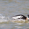 Merganser Red-breasted Male court-0521