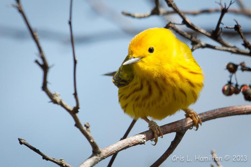 Yellow Warbler-6023