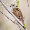Swamp Sparrow-7068