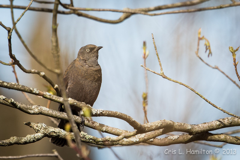 Rusty Blackbird-7592