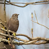 Rusty Blackbird-7592